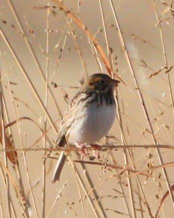 Baird's Sparrow Photo by Andrew Core