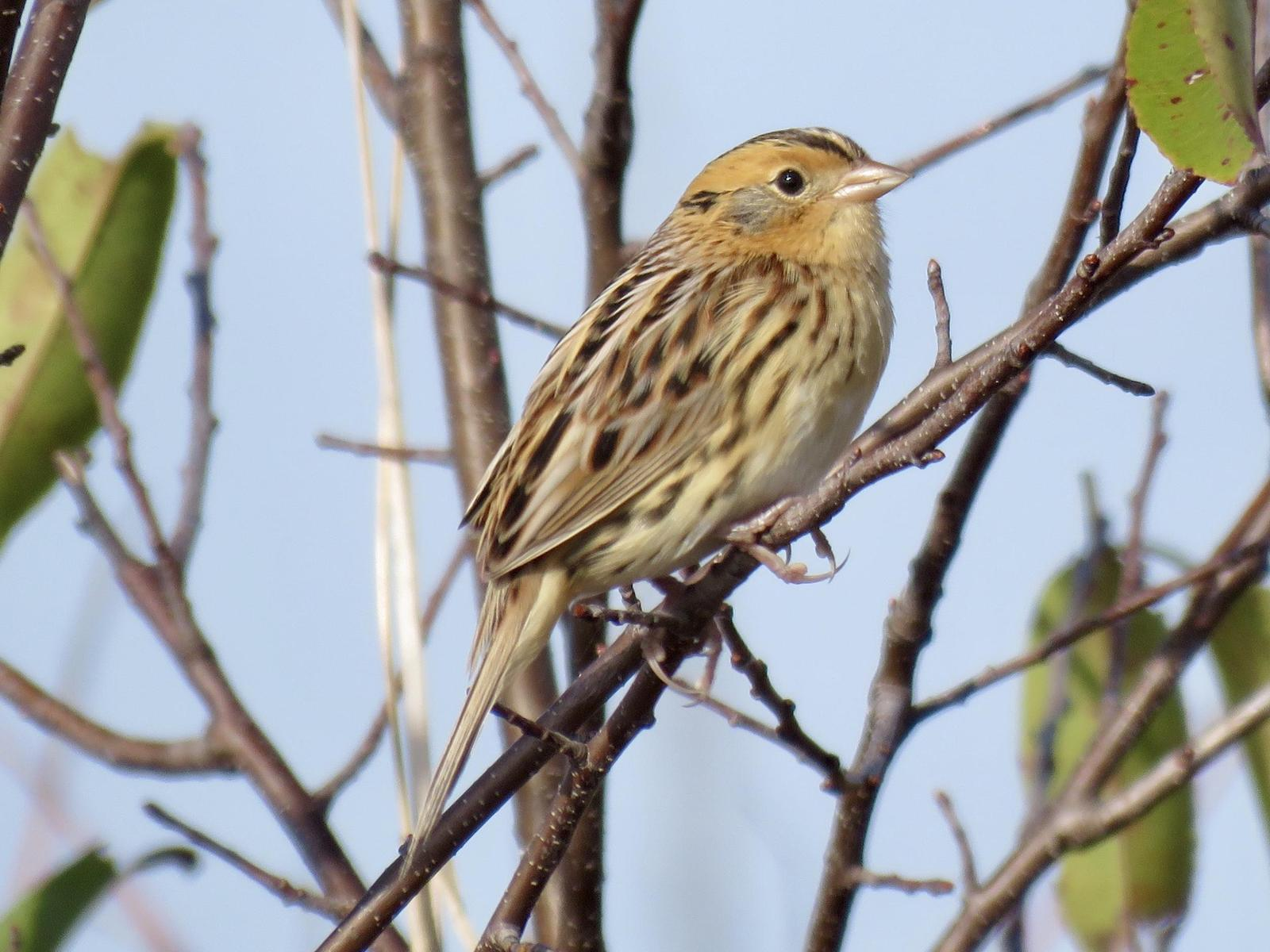 LeConte's Sparrow Photo by Lisa Owens