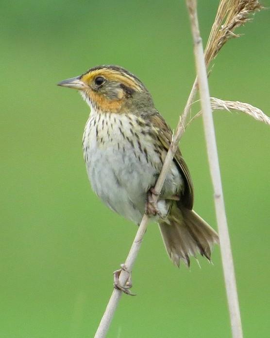 Saltmarsh Sparrow Photo by Stephen Mirick