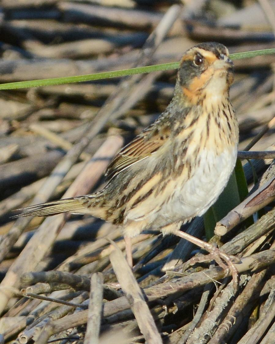 Saltmarsh Sparrow Photo by David Hollie
