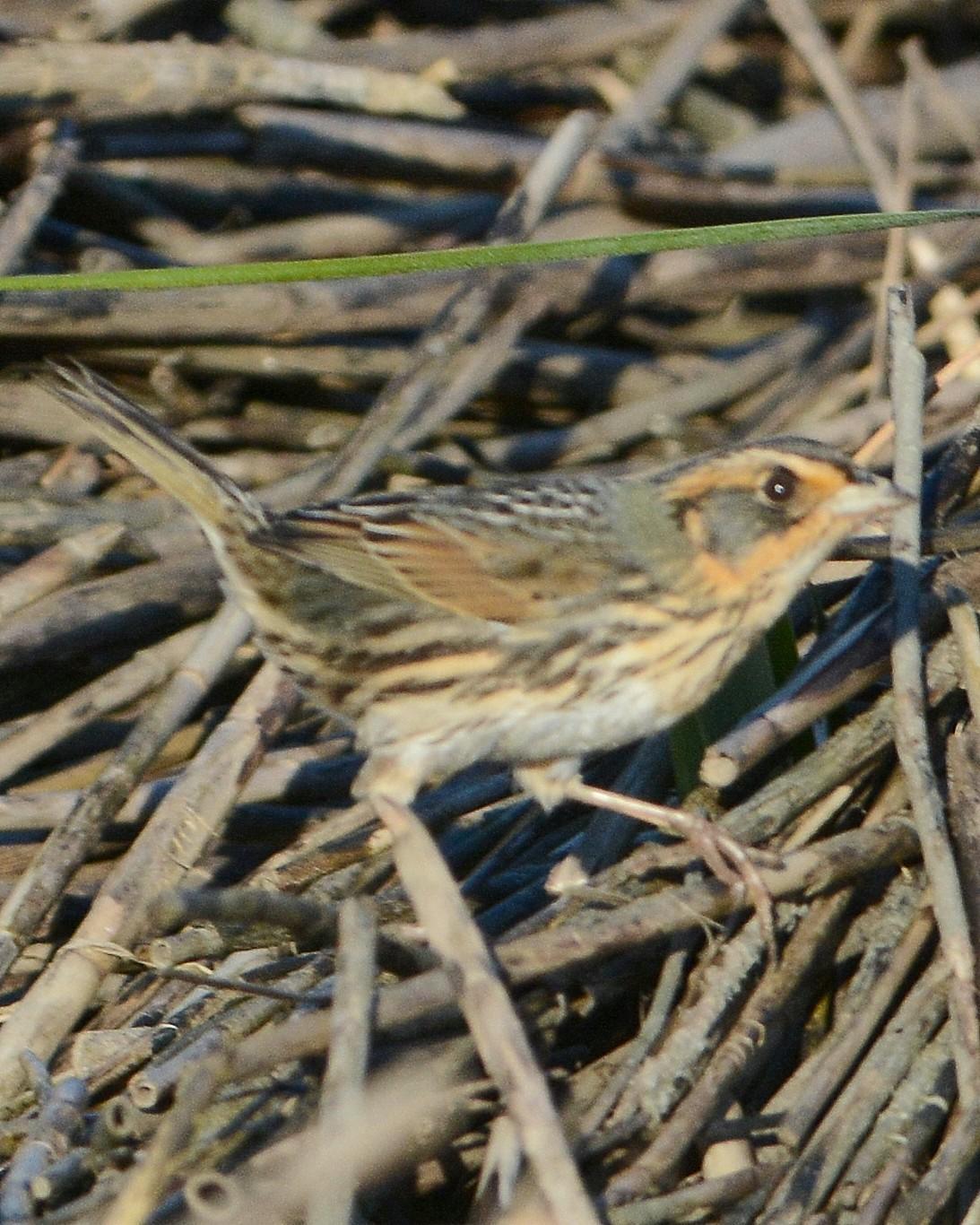 Saltmarsh Sparrow Photo by David Hollie
