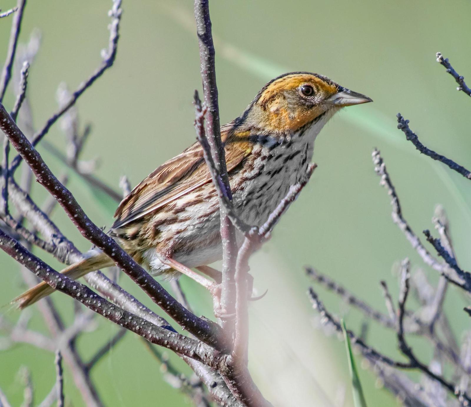 Saltmarsh Sparrow Photo by Joseph Pescatore