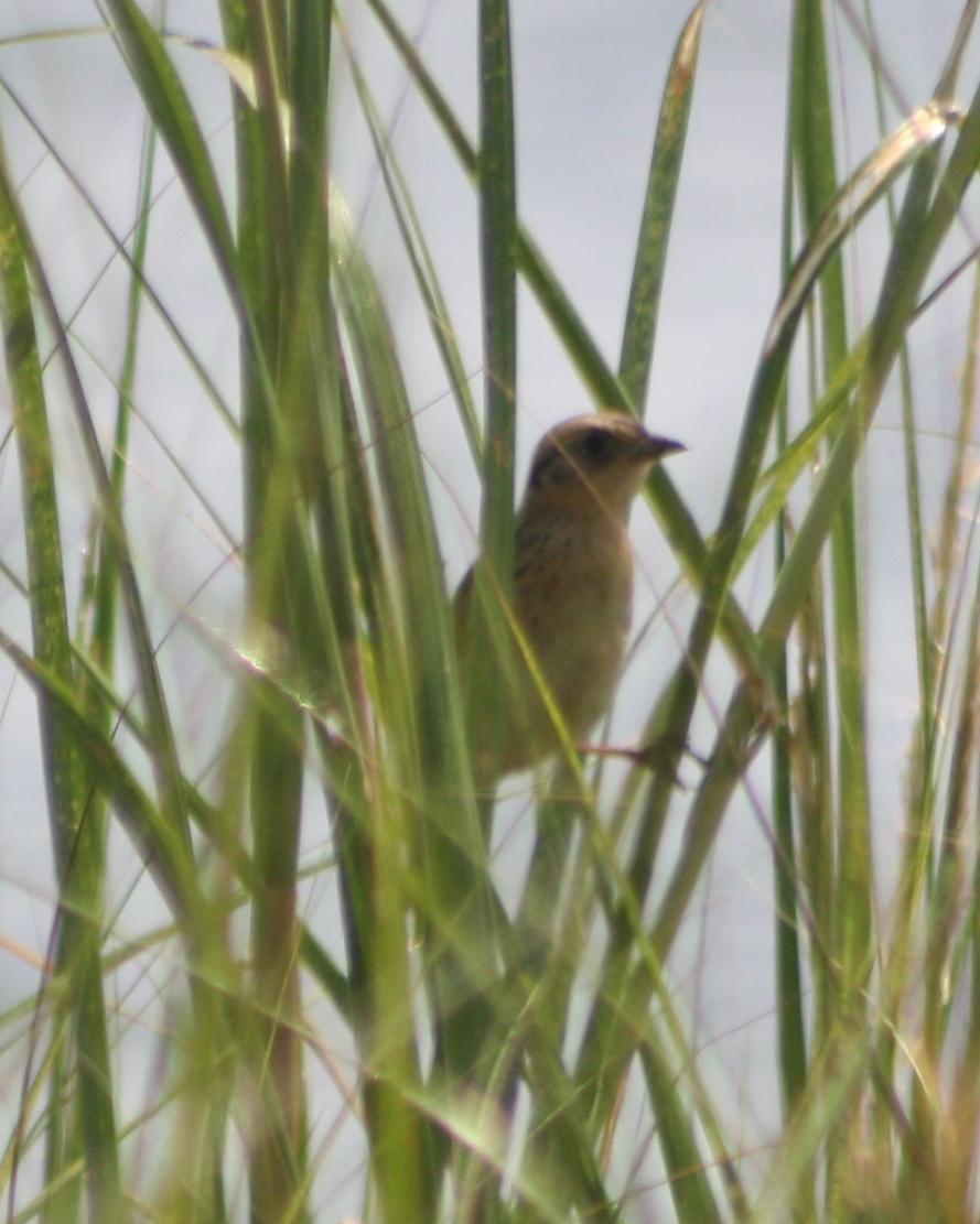 Saltmarsh Sparrow Photo by Tim Schreckengost