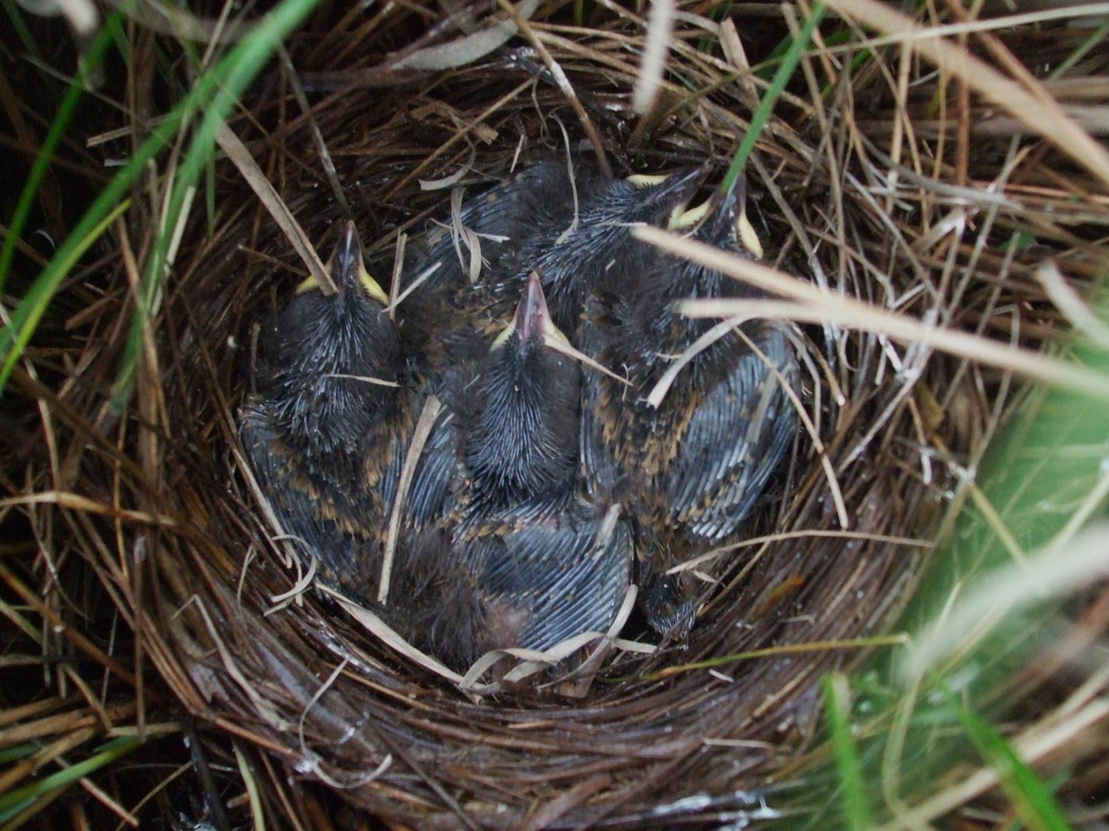 Saltmarsh Sparrow Photo by Zak Poulton