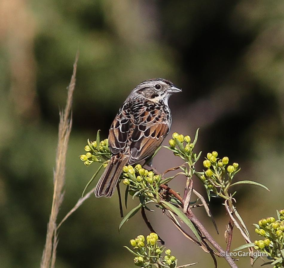 Sierra Madre Sparrow Photo by Leonardo Garrigues