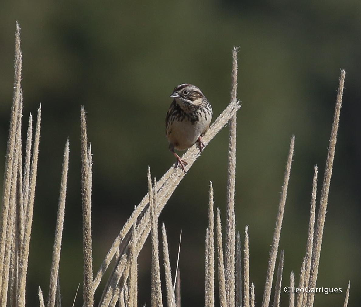 Sierra Madre Sparrow Photo by Leonardo Garrigues