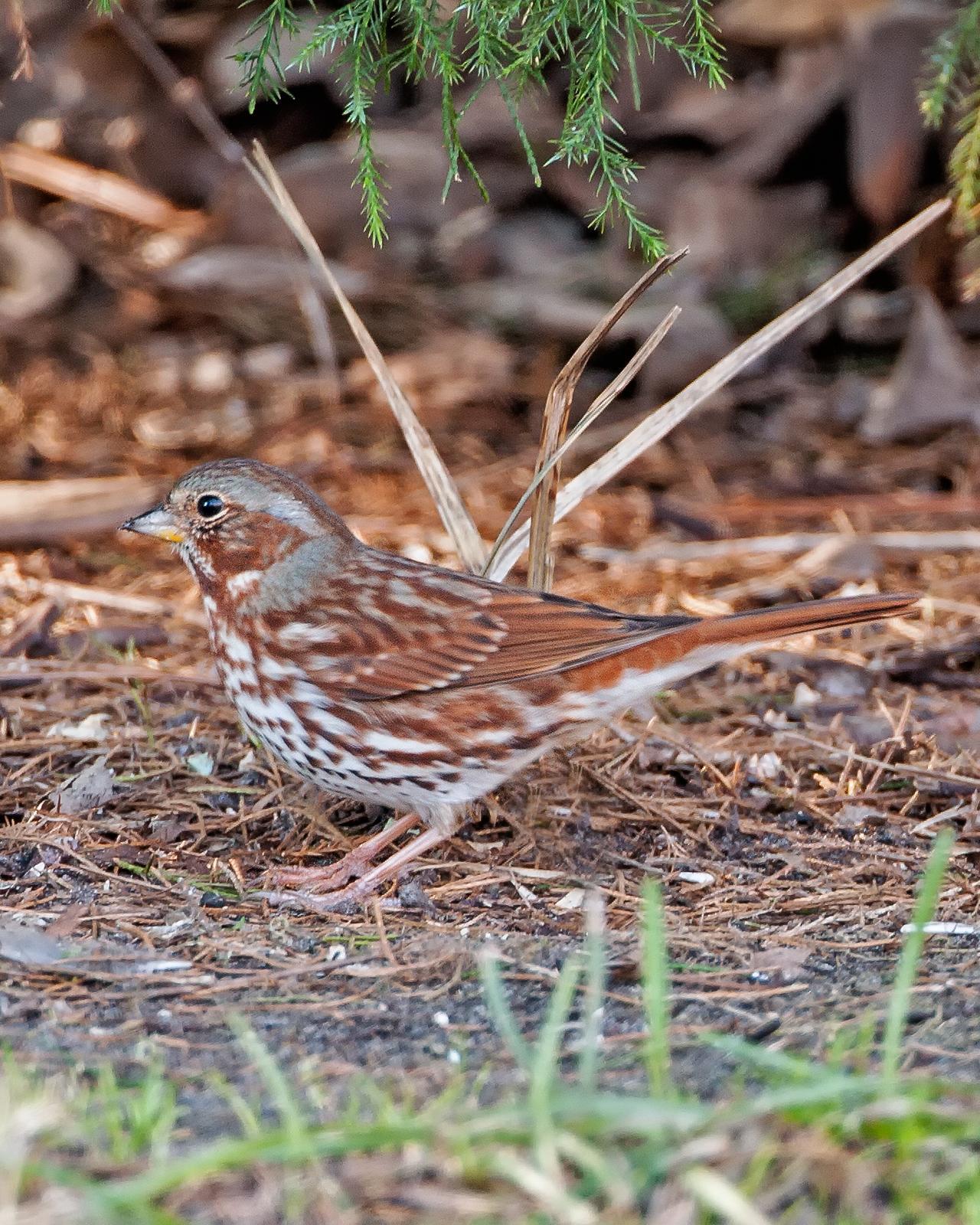 Fox Sparrow Photo by JC Knoll