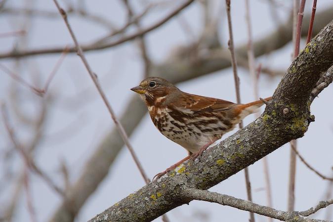 Fox Sparrow Photo by Gerald Hoekstra