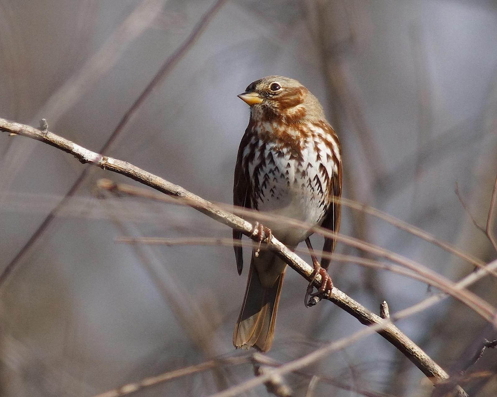 Fox Sparrow Photo by Gerald Hoekstra