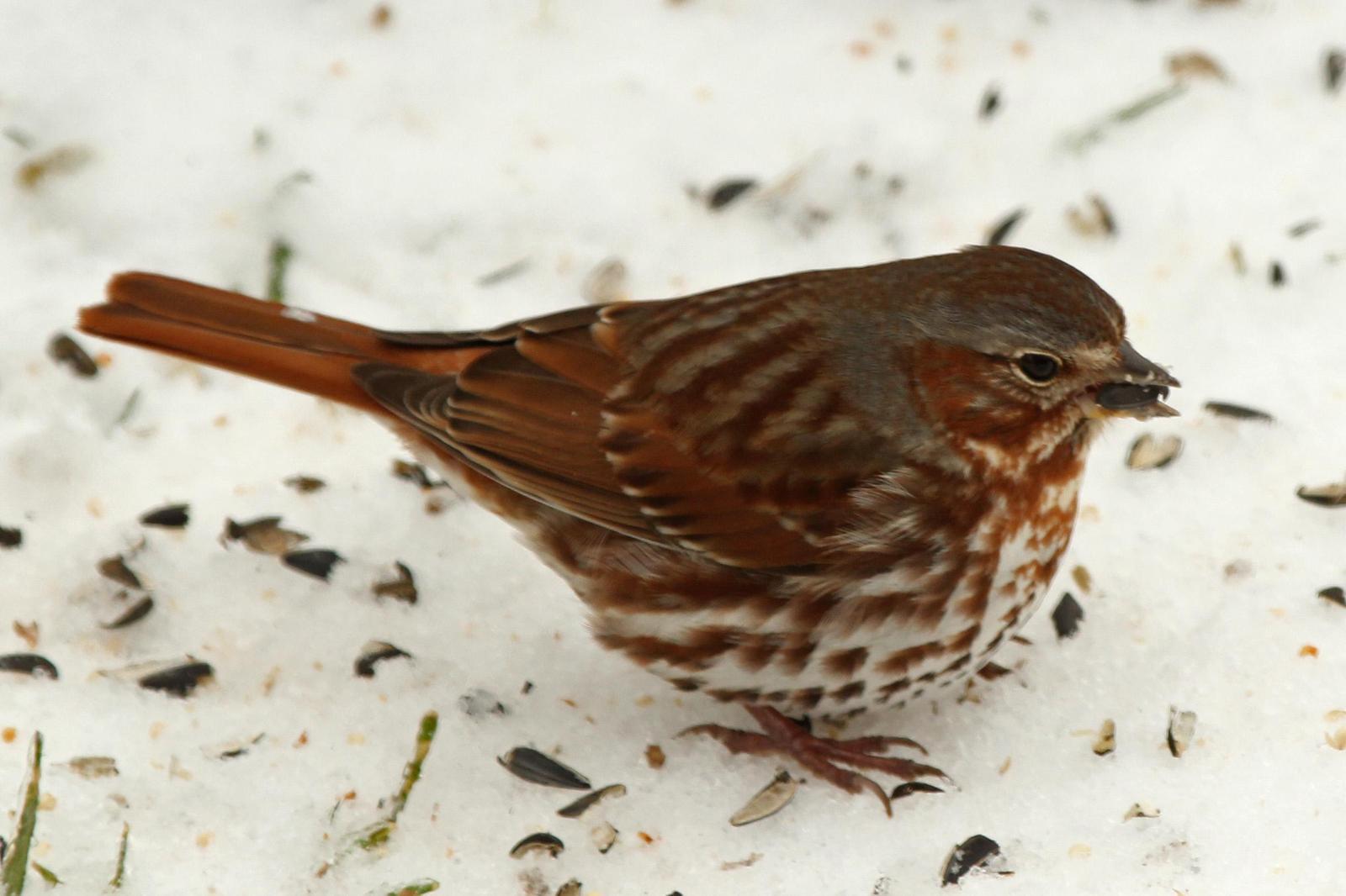 Fox Sparrow Photo by Kristy Baker