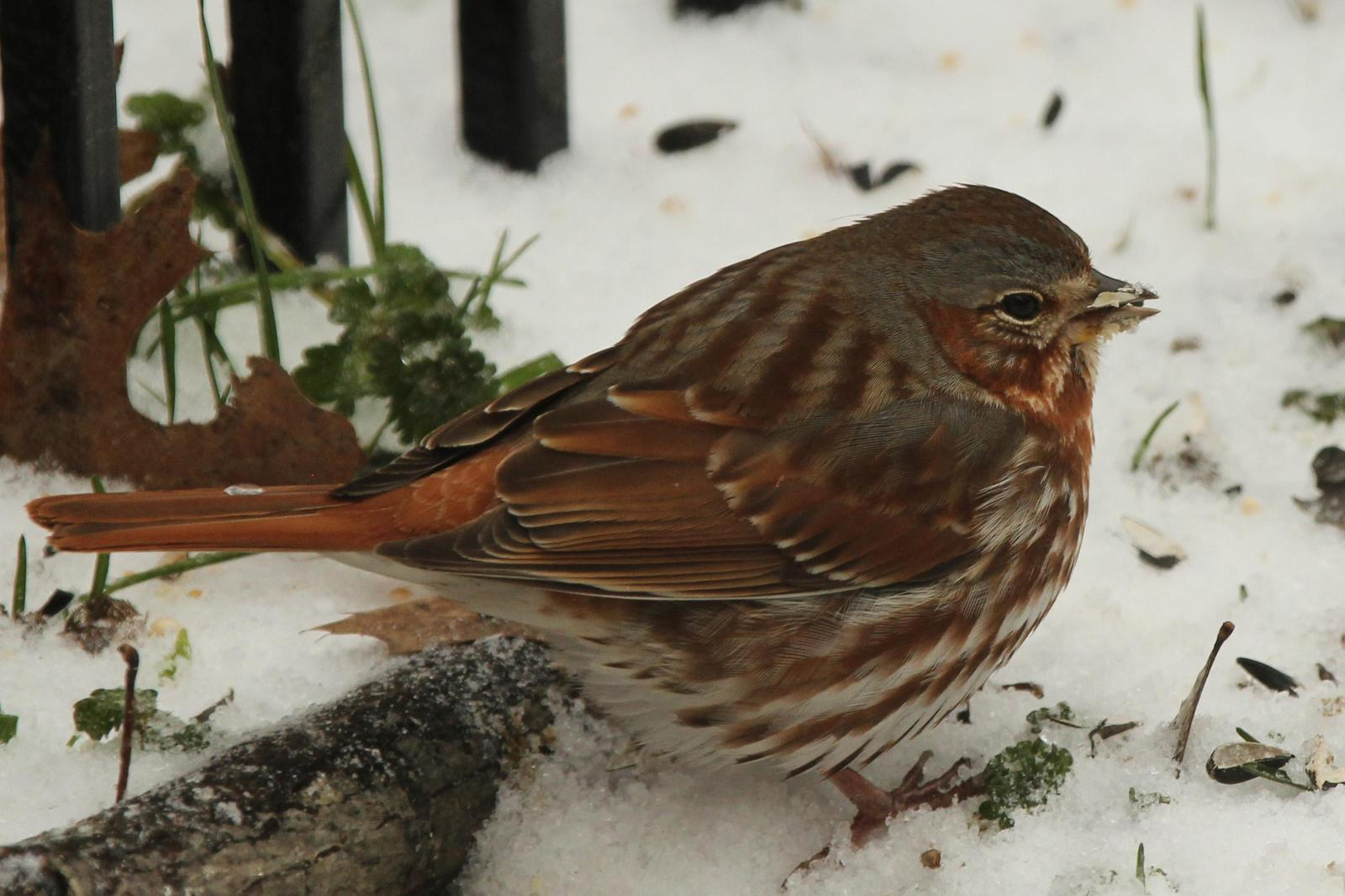 Fox Sparrow Photo by Kristy Baker