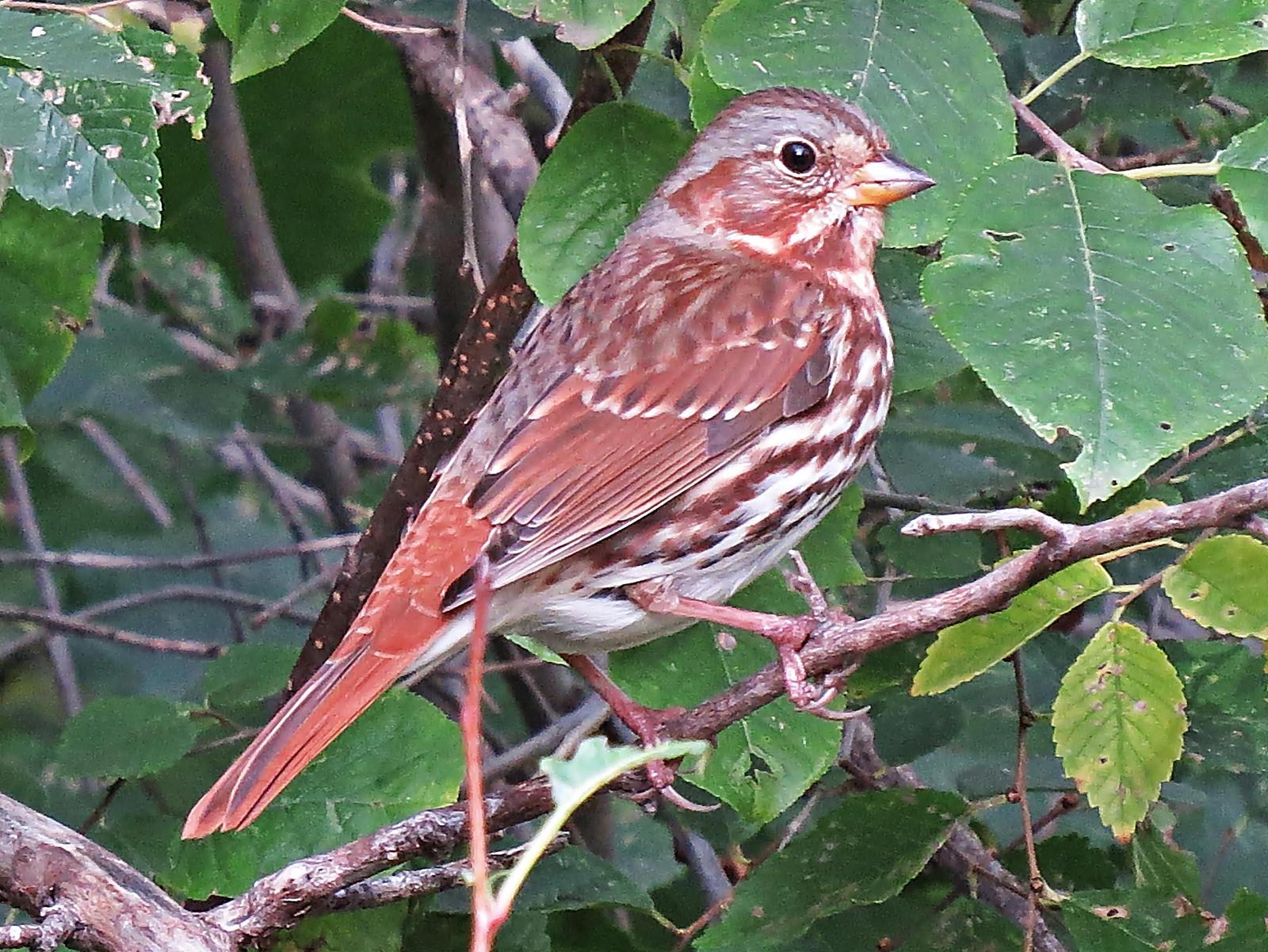 Fox Sparrow Photo by Bob Neugebauer