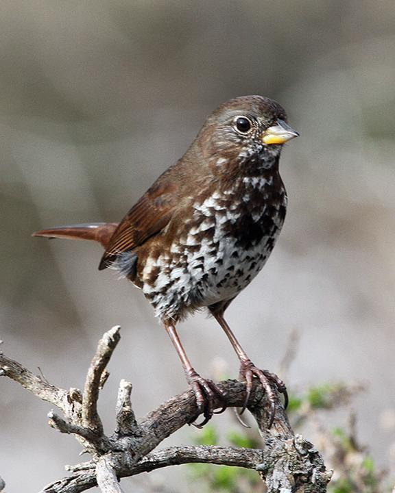 Fox Sparrow (Sooty) Photo by Ron Storey
