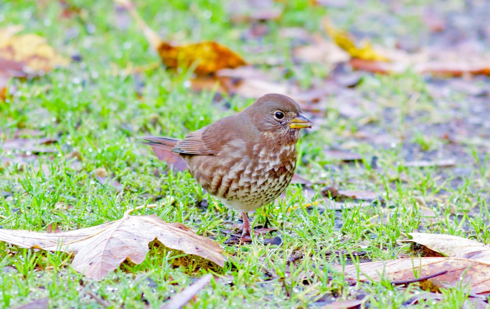 Fox Sparrow (Sooty) Photo by Kathryn Keith