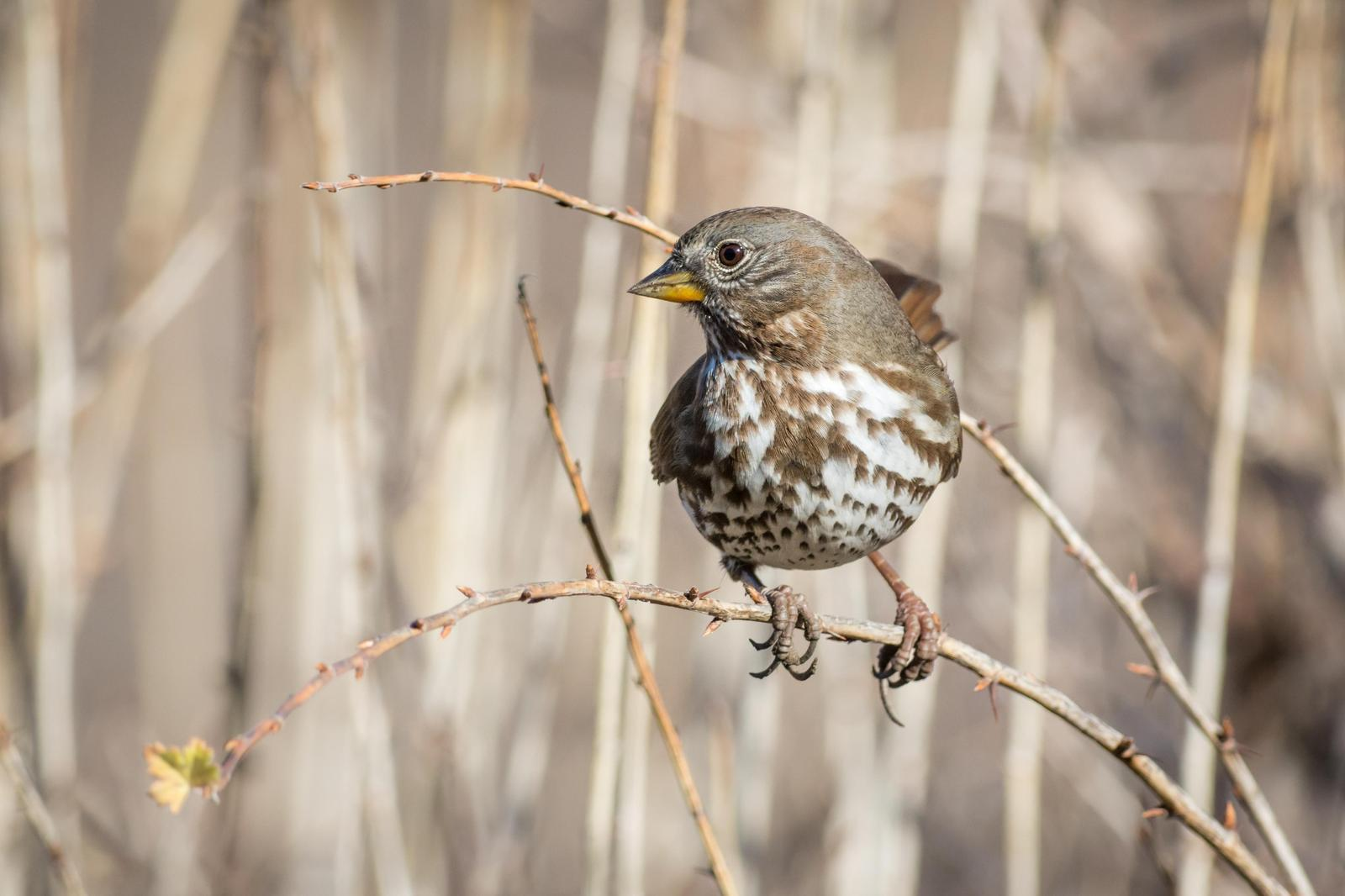 Fox Sparrow (Sooty) Photo by Jesse Hodges