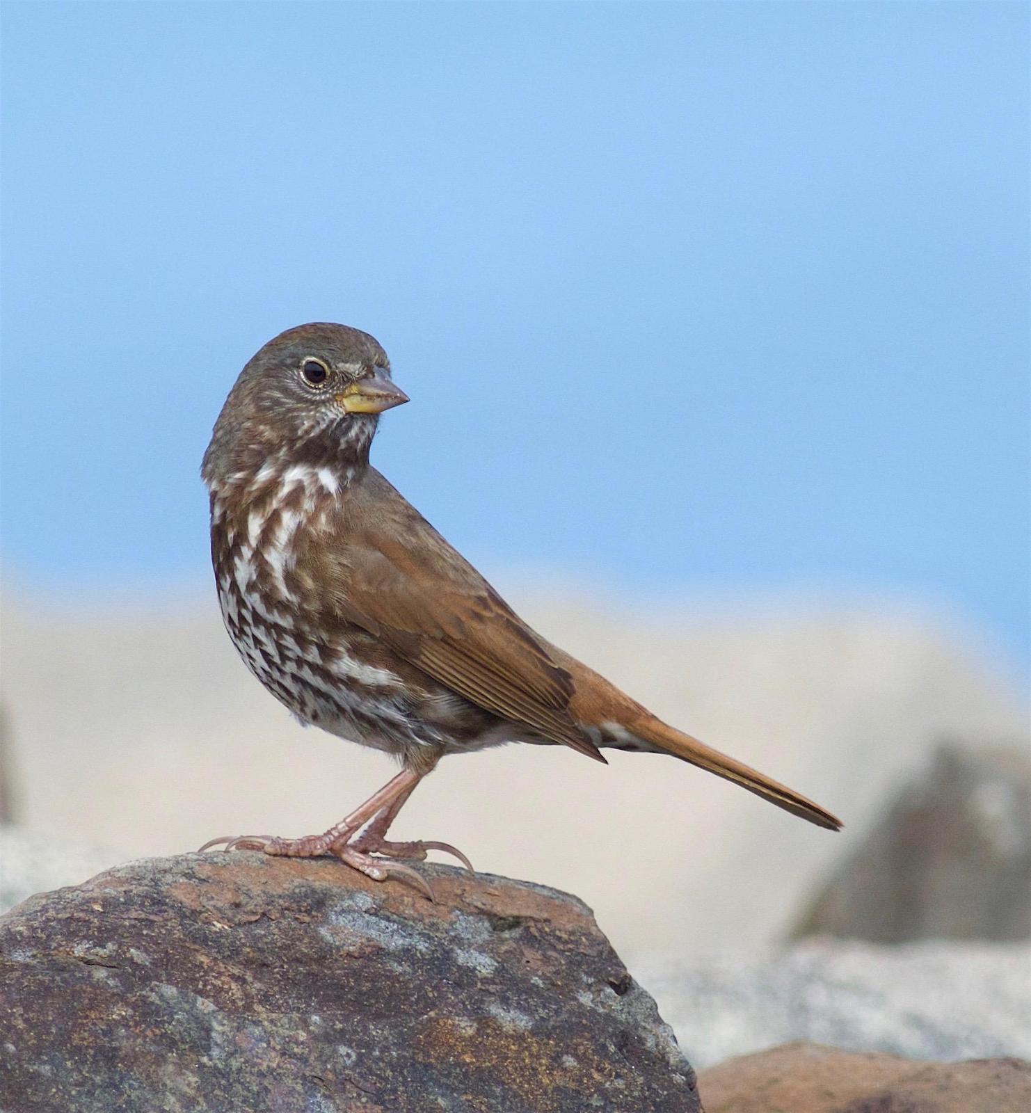 Fox Sparrow (Sooty) Photo by Kathryn Keith