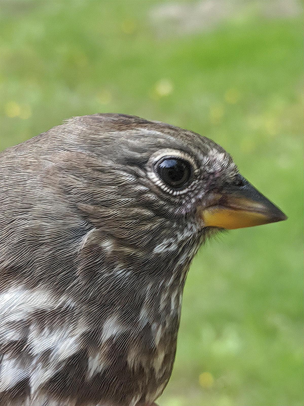 Fox Sparrow (Sooty) Photo by Dan Tallman
