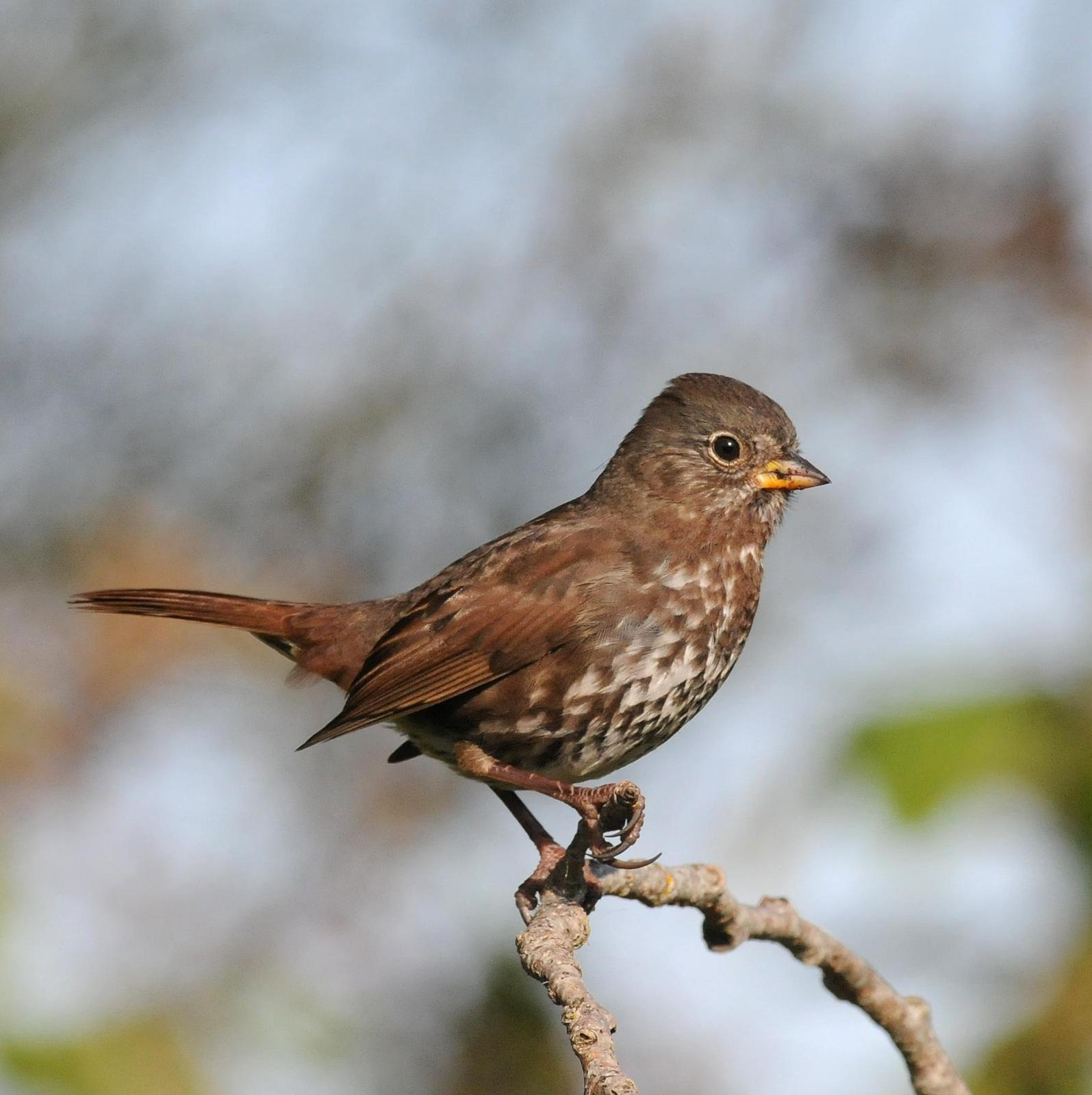 Fox Sparrow (Sooty) Photo by Steven Mlodinow