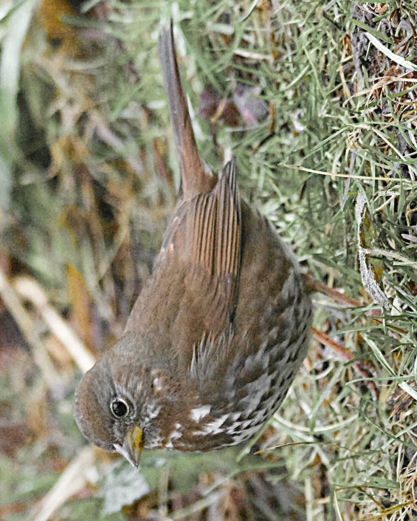 Fox Sparrow (Sooty) Photo by Brian Avent