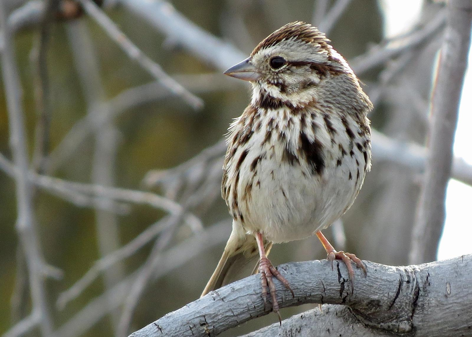 Song Sparrow Photo by Kelly Preheim