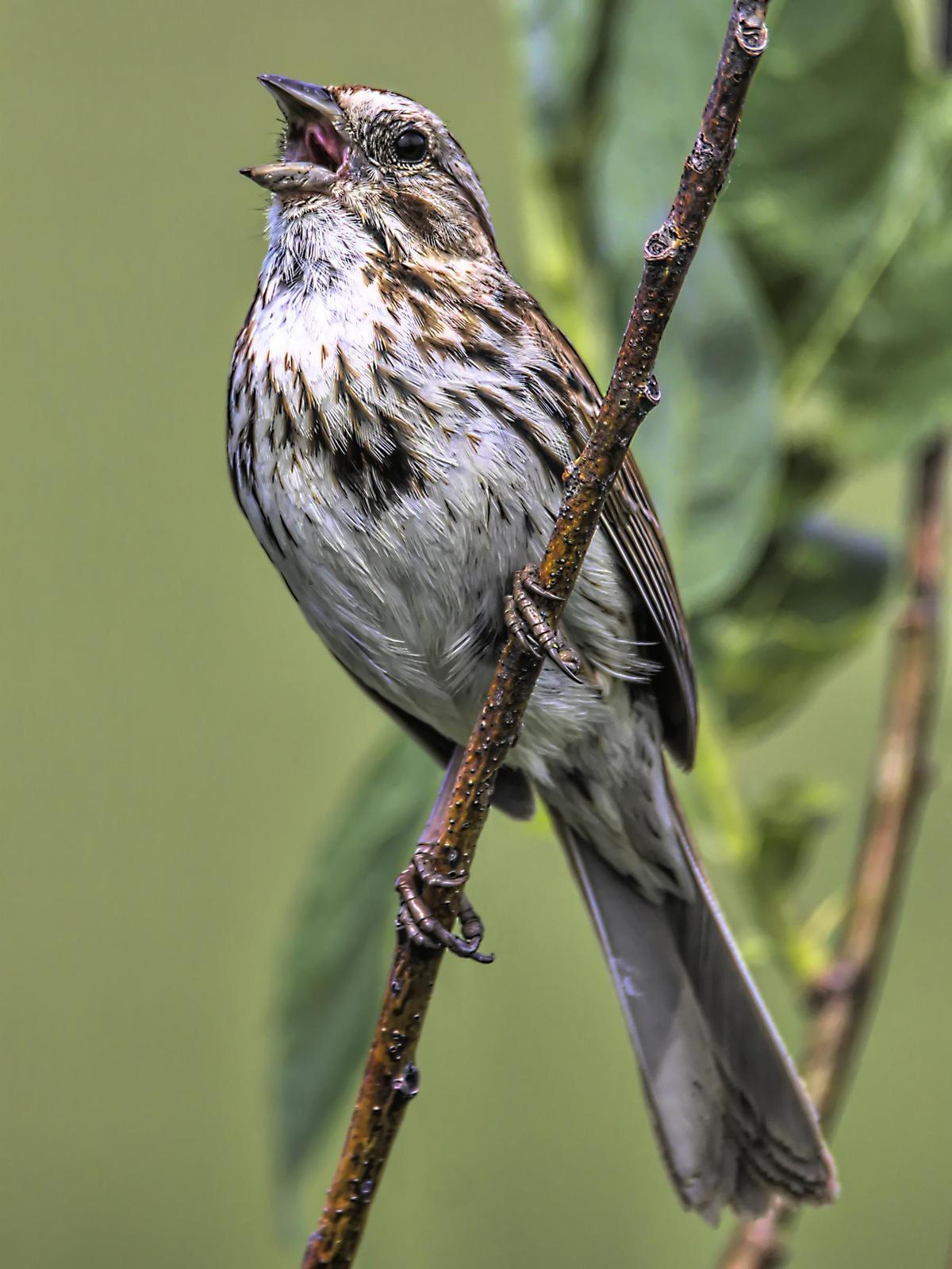 Song Sparrow Photo by Dan Tallman
