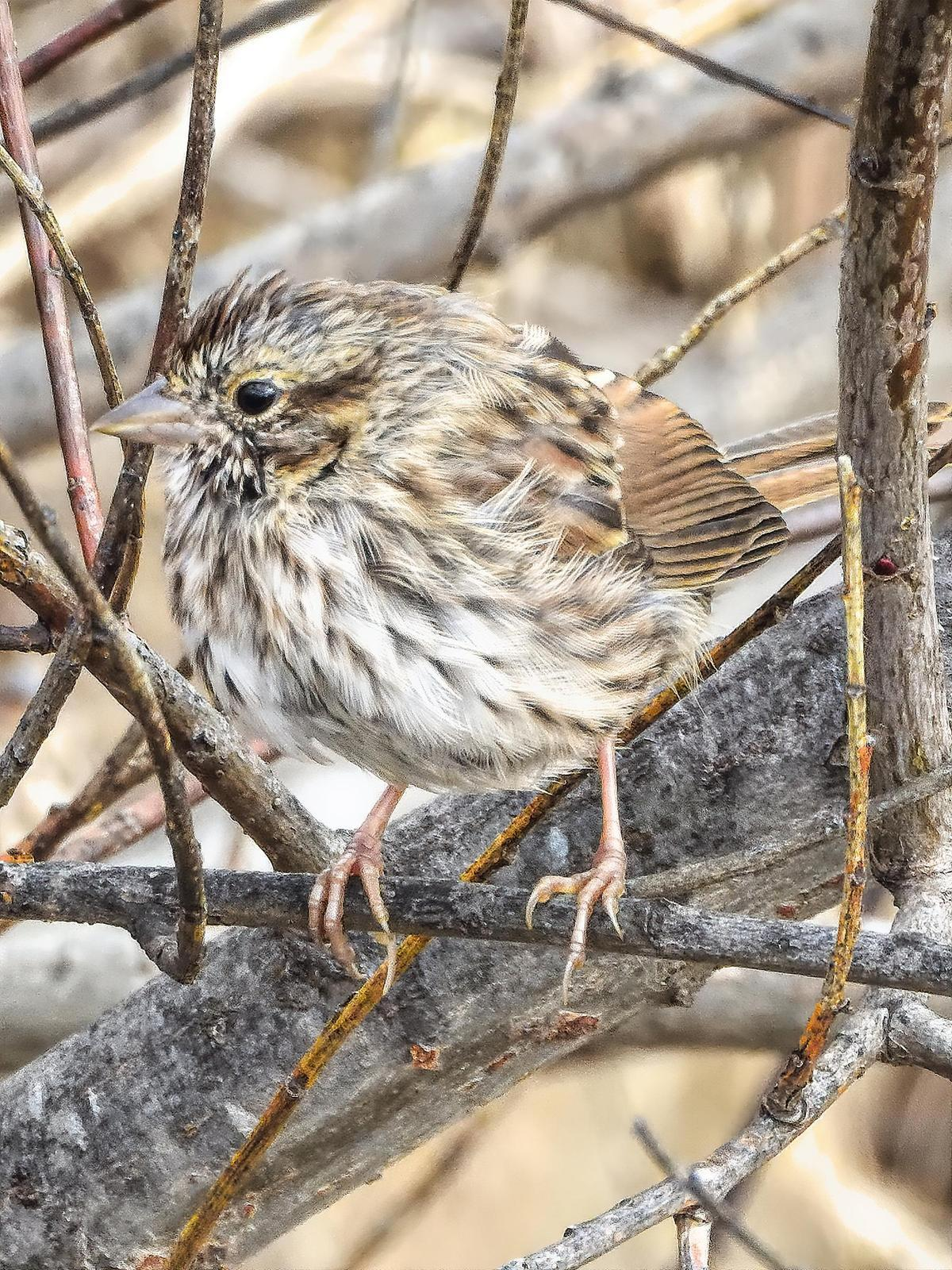 Song Sparrow Photo by Dan Tallman