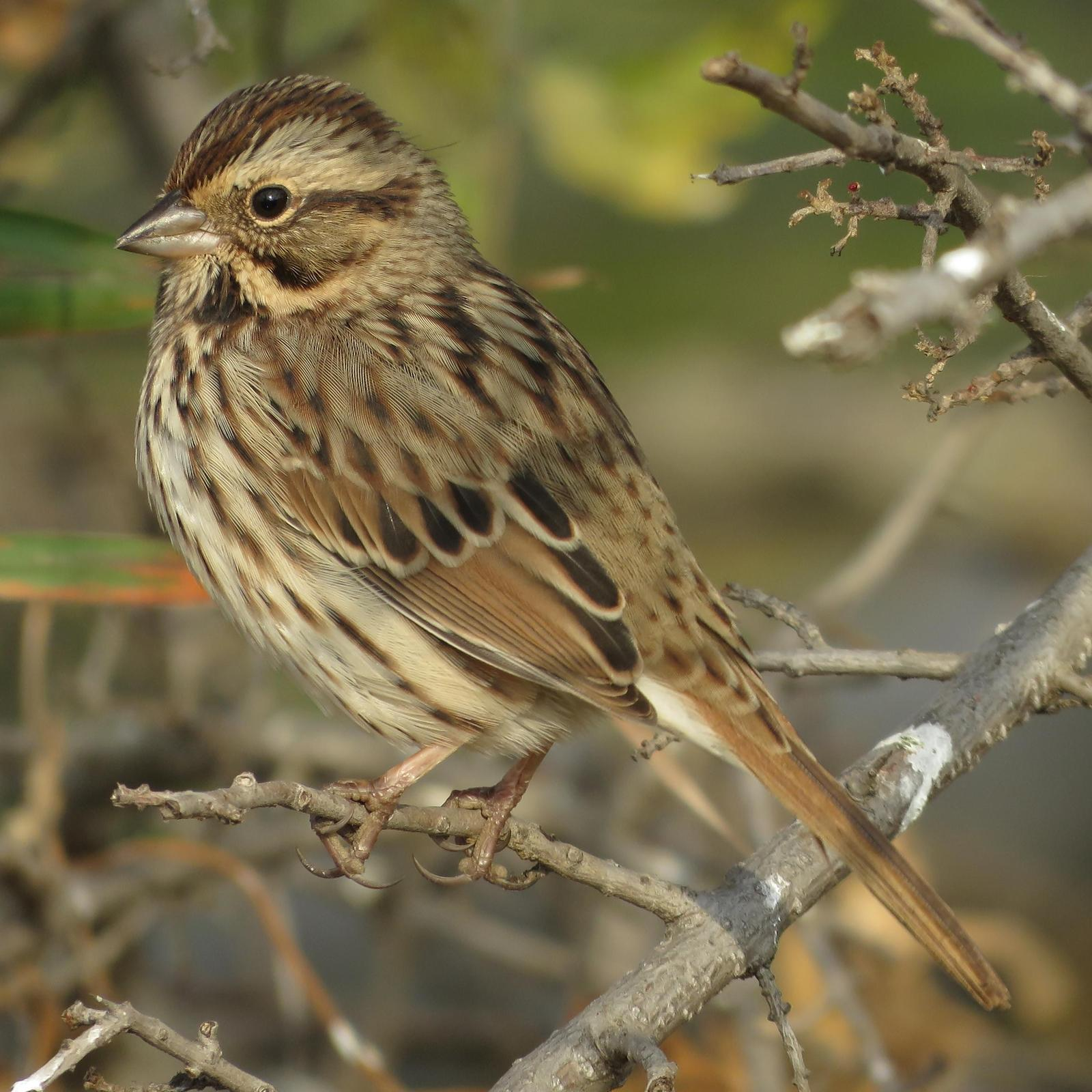 Lincoln's Sparrow Photo by Bob Neugebauer