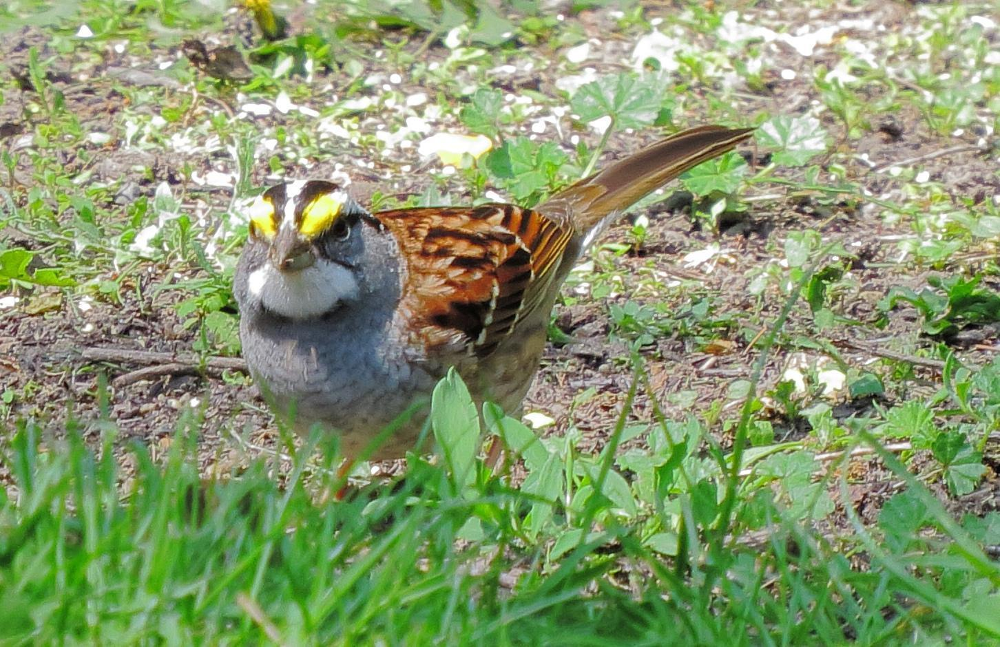 White-throated Sparrow Photo by Kent Jensen