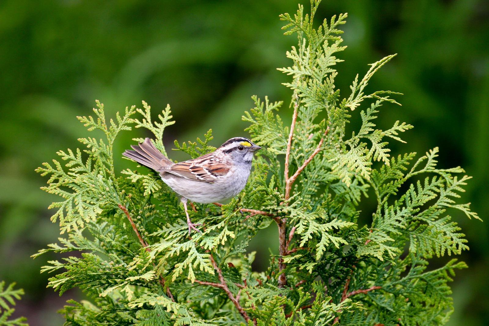 White-throated Sparrow Photo by Roseanne CALECA