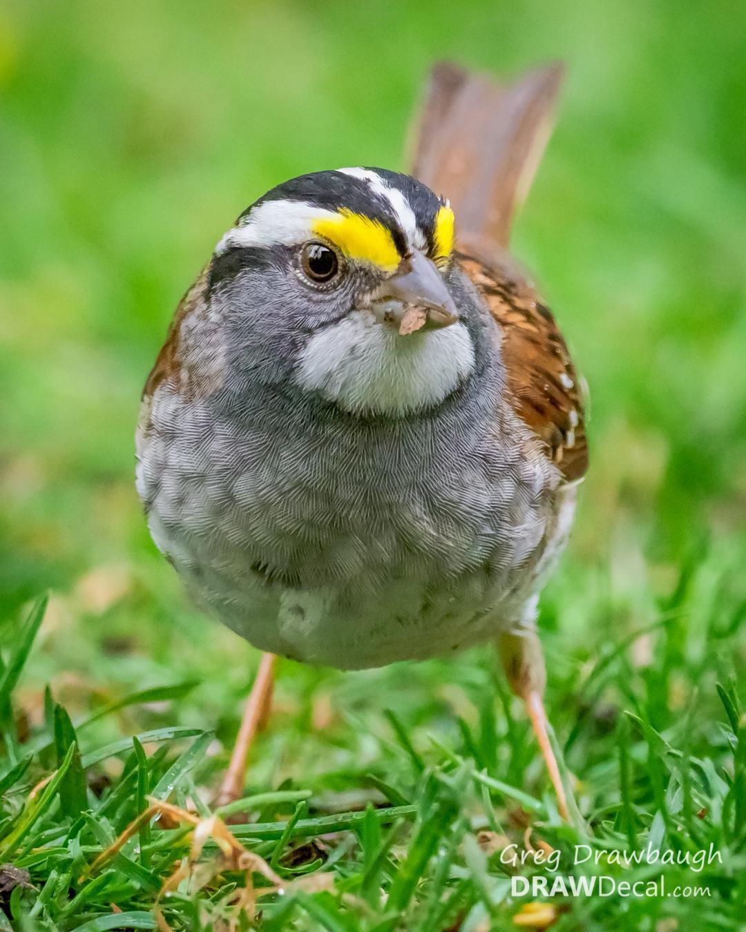 White-throated Sparrow Photo by Greg Drawbaugh