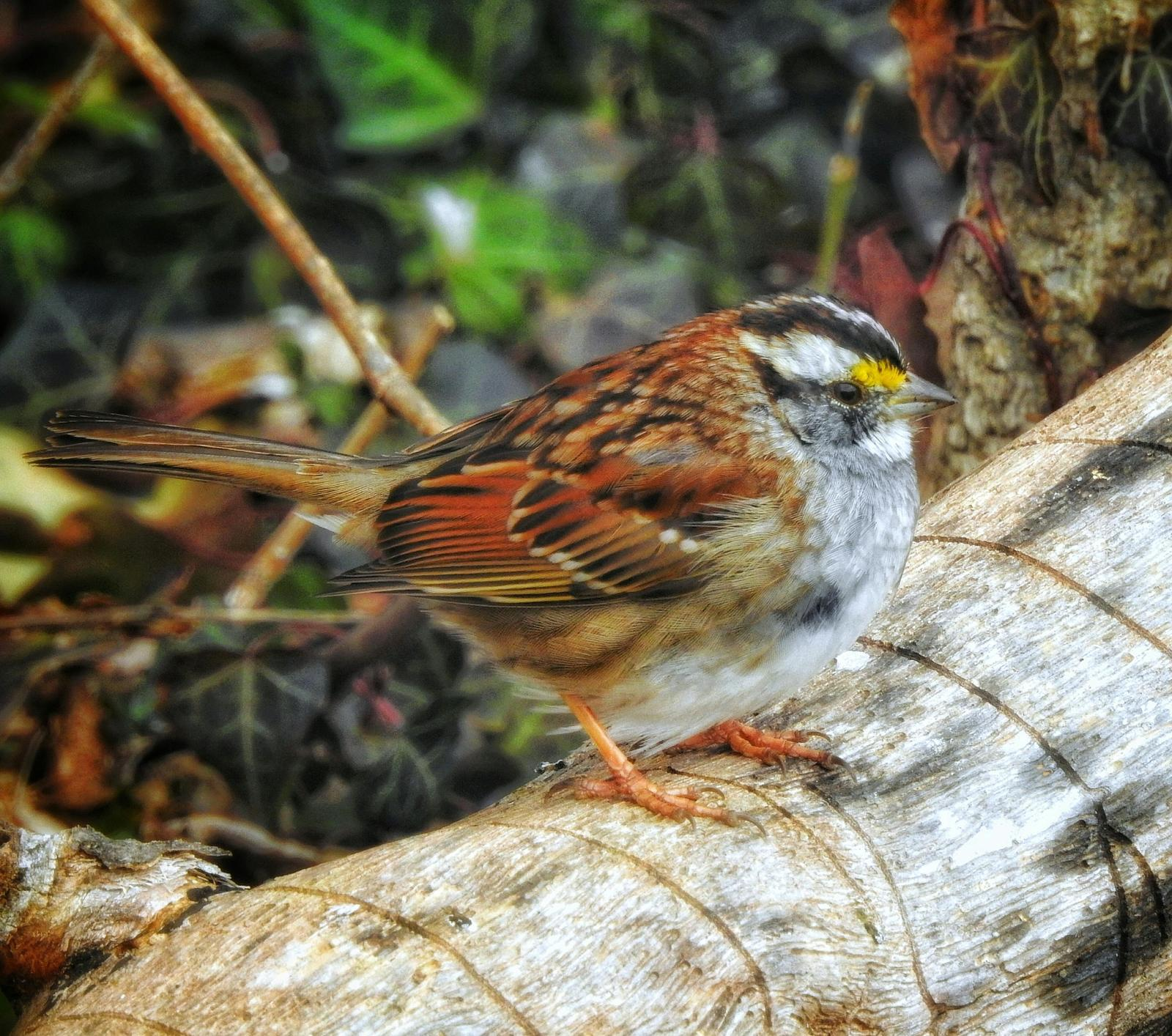 White-throated Sparrow Photo by Steven Kleiman