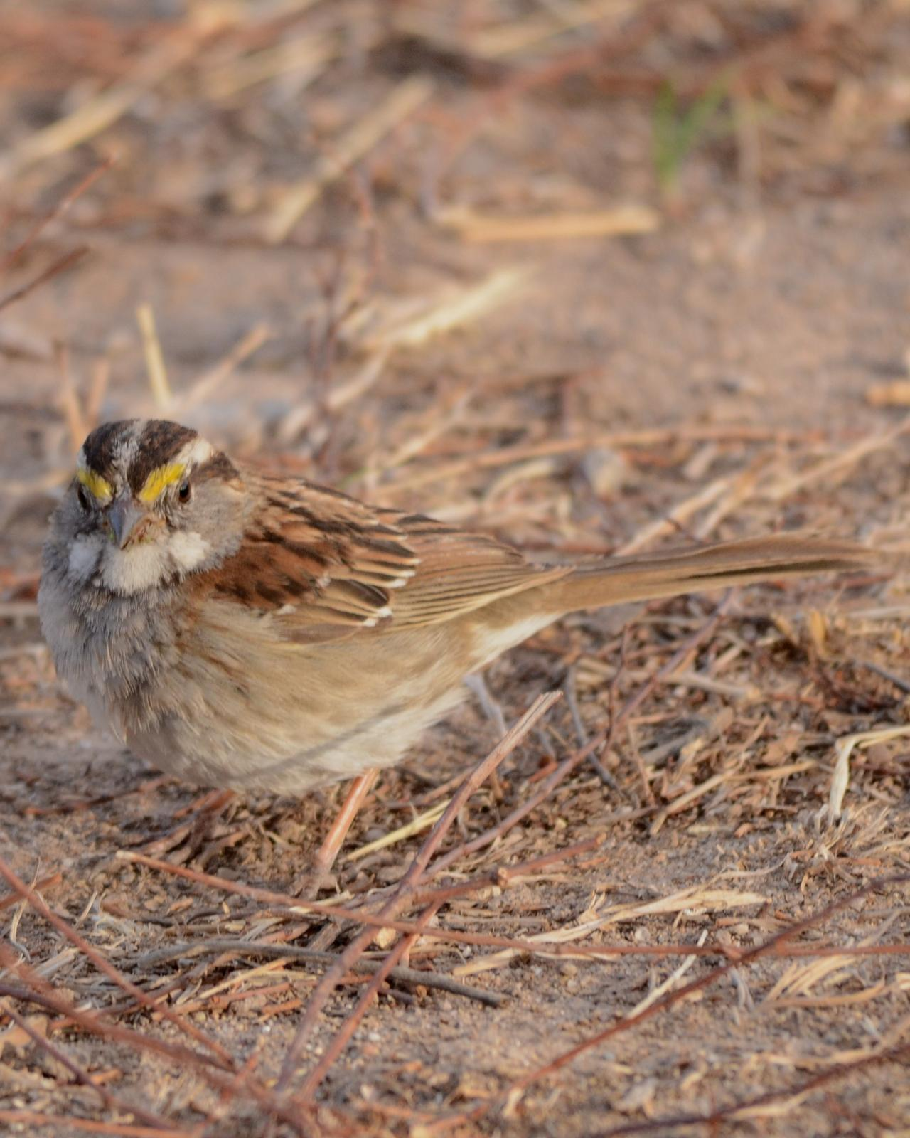 White-throated Sparrow Photo by Dan Belcher