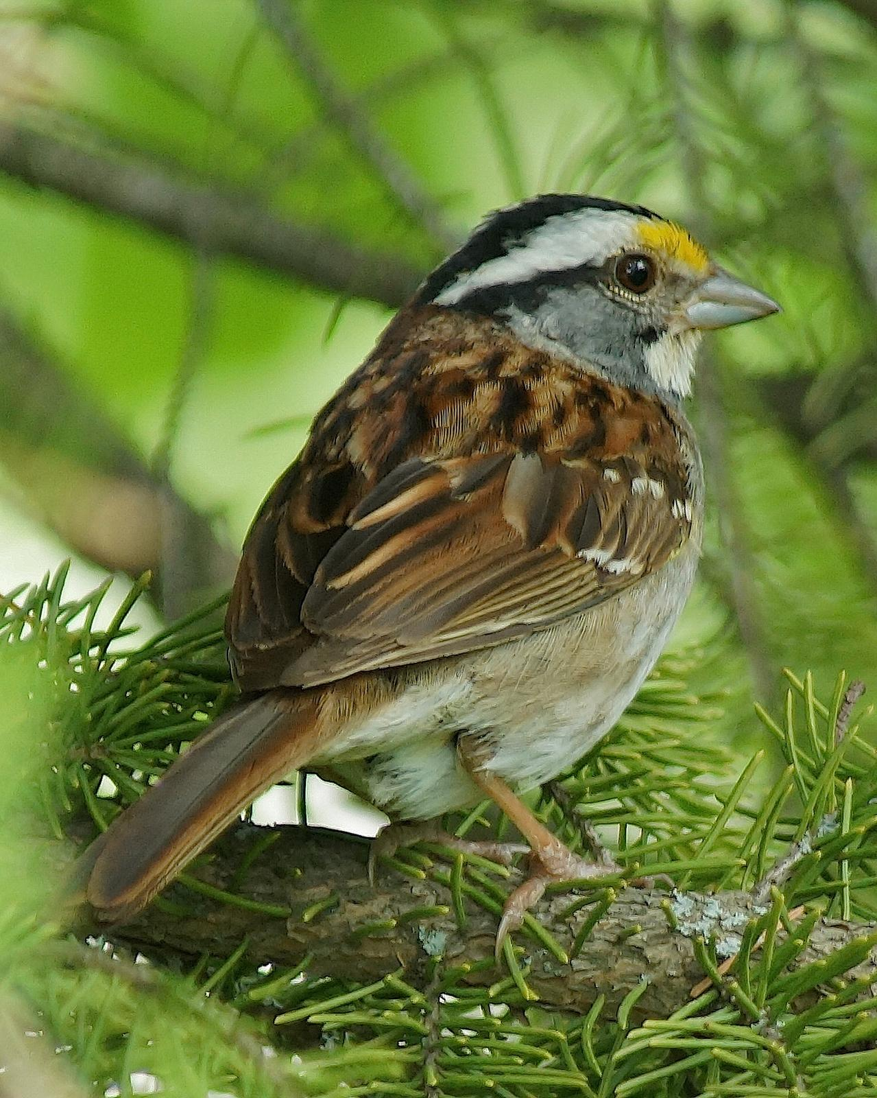 White-throated Sparrow Photo by Gerald Hoekstra
