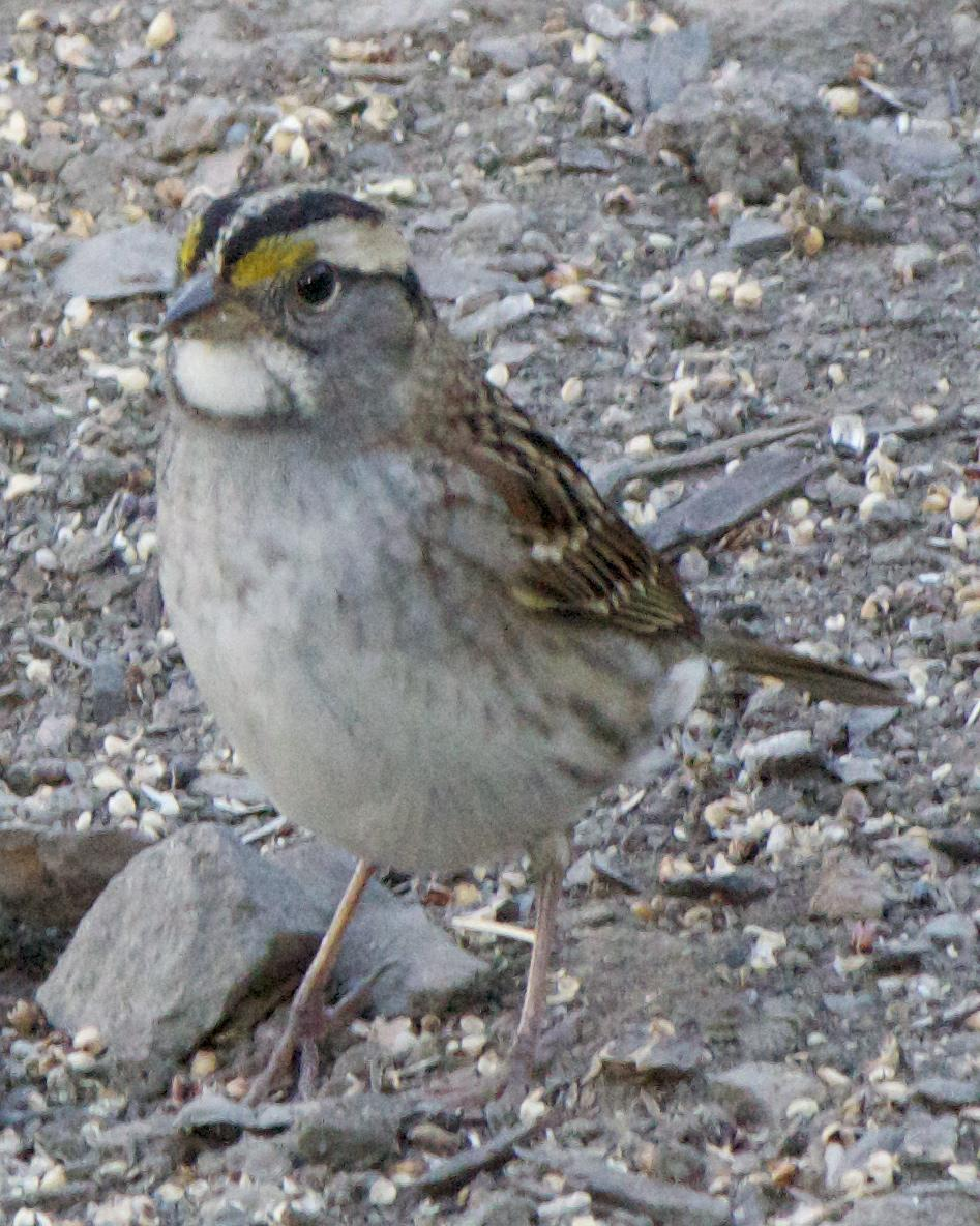 White-throated Sparrow Photo by Mark Baldwin