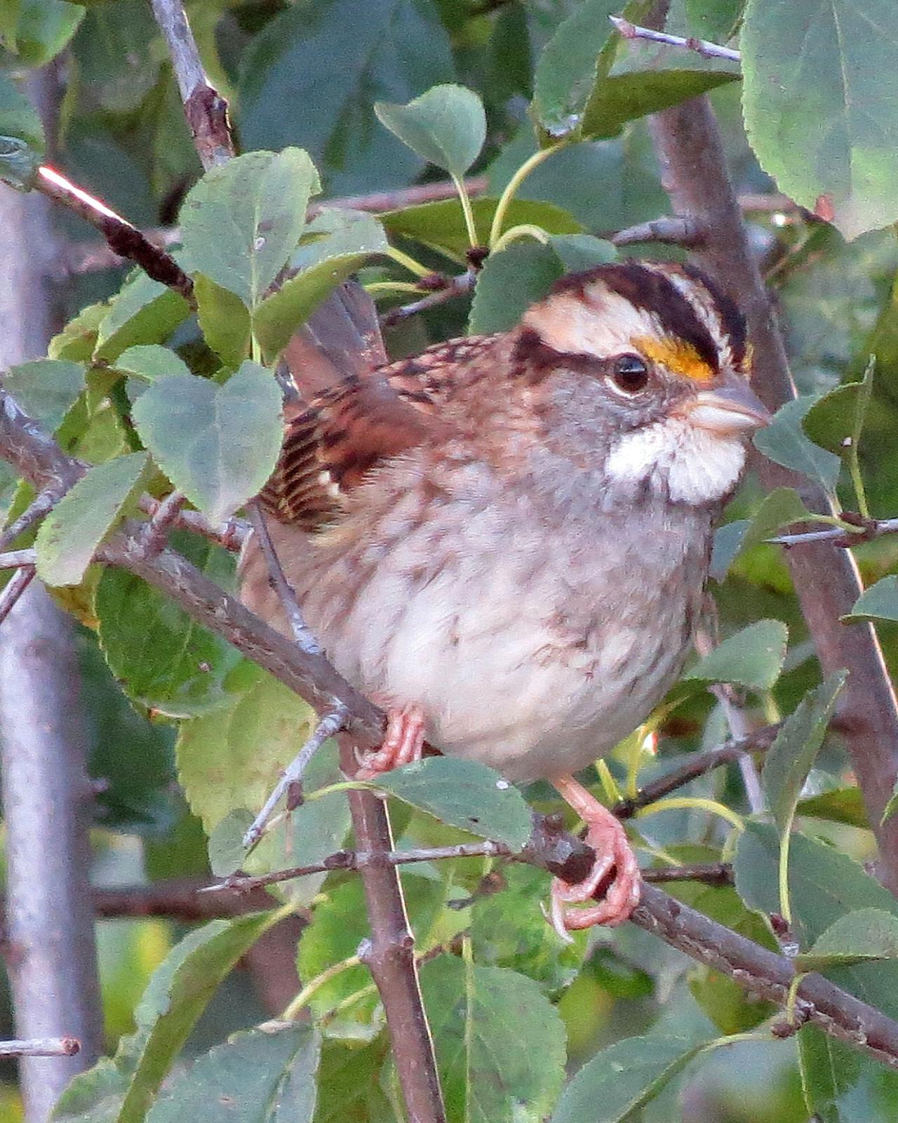 White-throated Sparrow Photo by Kelly Preheim