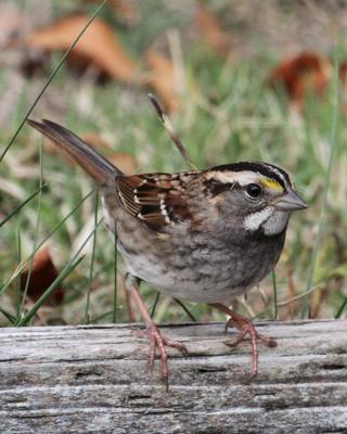 White-throated Sparrow Photo by Jamie Chavez