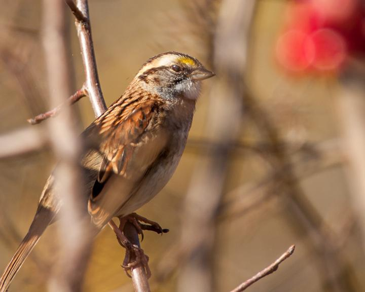 White-throated Sparrow Photo by Jean-Pierre LaBrèche