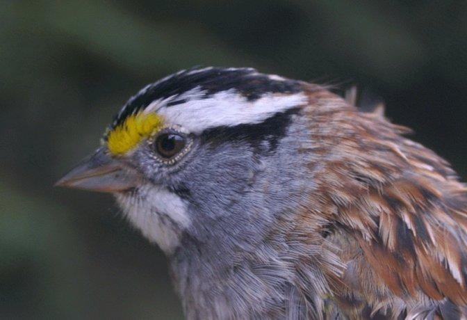 White-throated Sparrow Photo by Dan Tallman