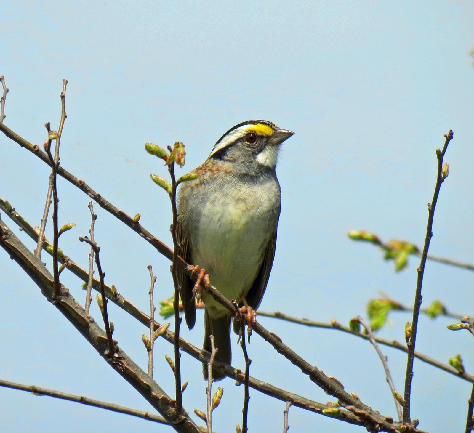 White-throated Sparrow Photo by Sherrie Ingram
