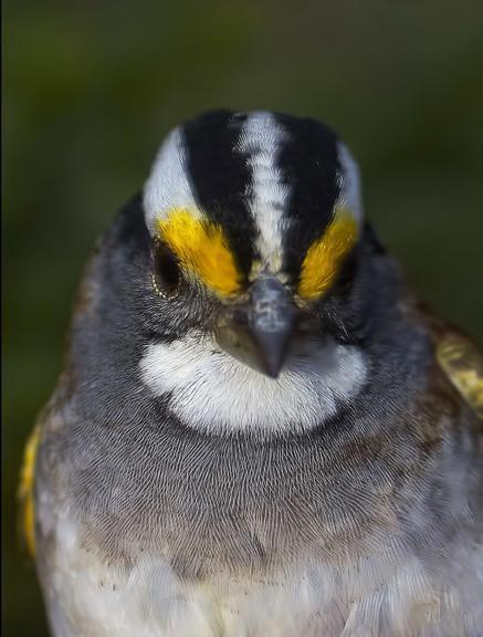 White-throated Sparrow Photo by Dan Tallman