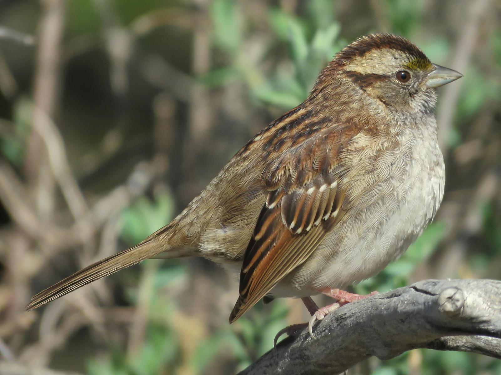 White-throated Sparrow Photo by Bob Neugebauer