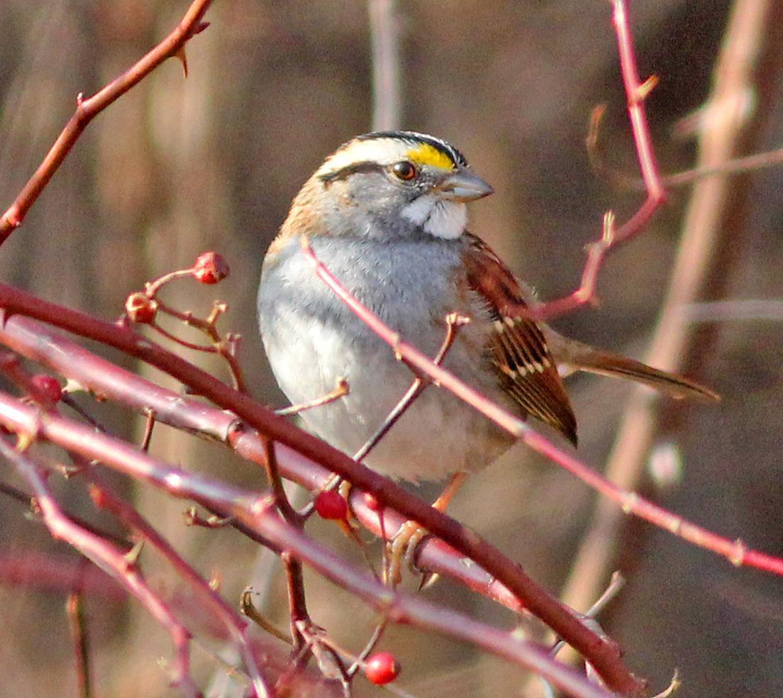 White-throated Sparrow Photo by Tom Gannon