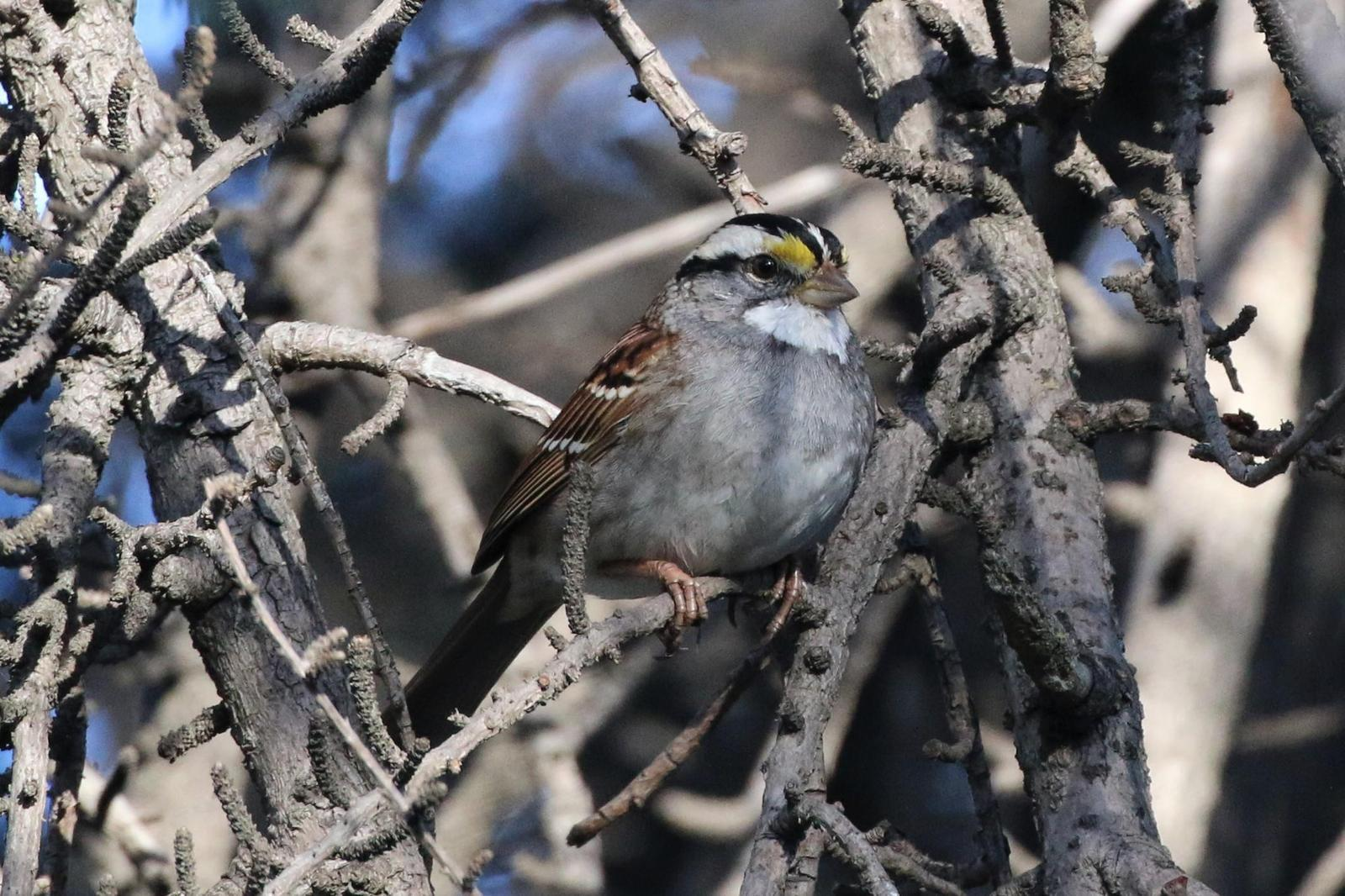 White-throated Sparrow Photo by Richard Jeffers