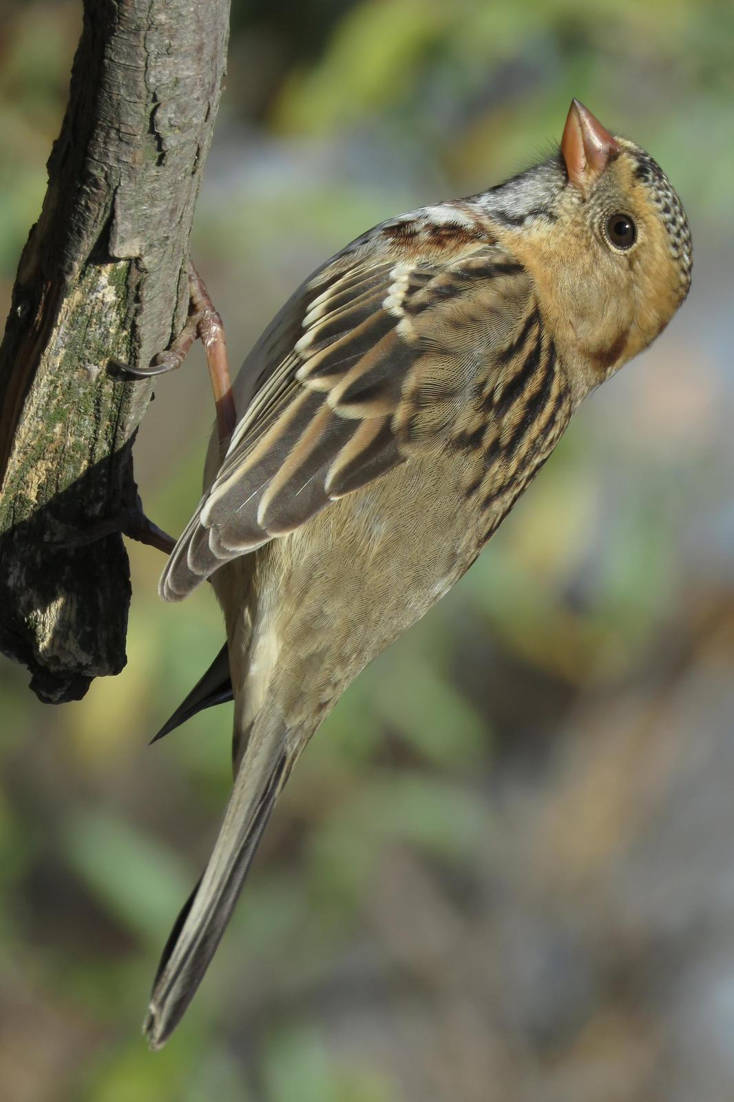 Harris's Sparrow Photo by Bob Neugebauer