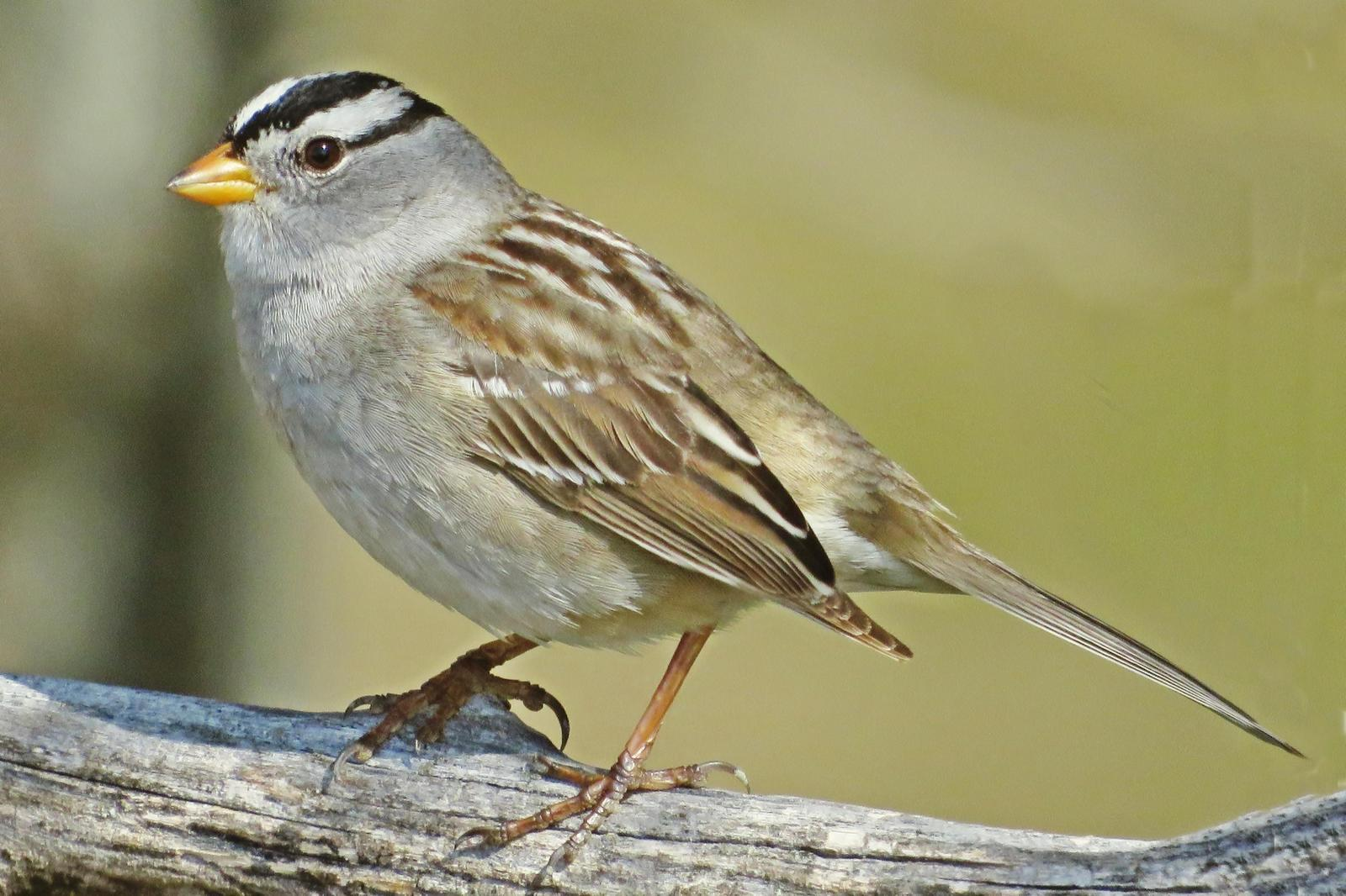 White-crowned Sparrow Photo by Bob Neugebauer