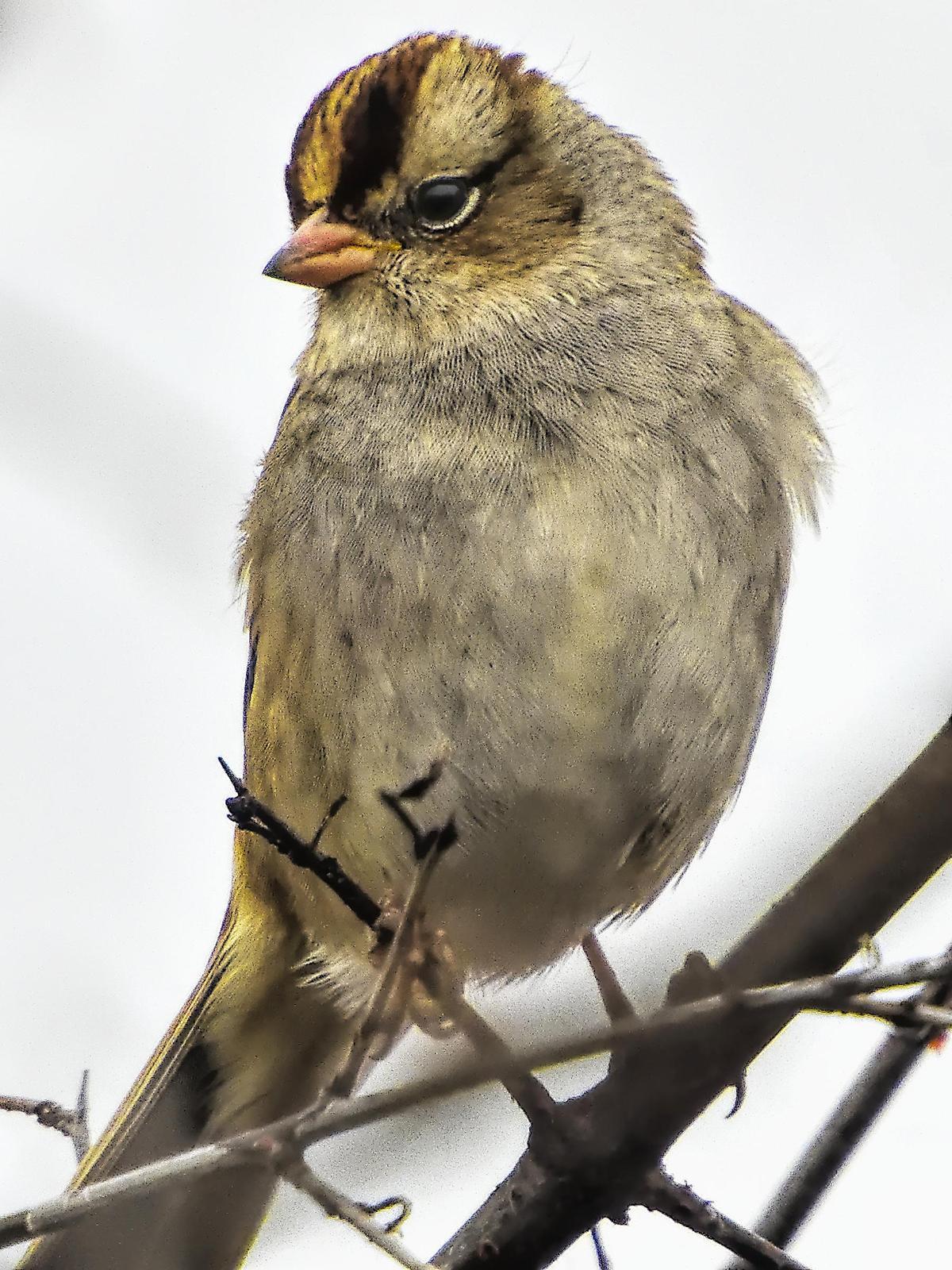 White-crowned Sparrow (Dark-lored) Photo by Dan Tallman