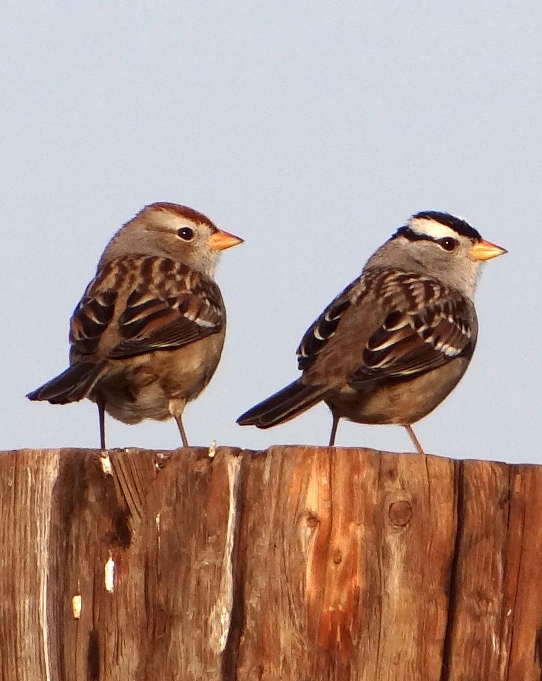 White-crowned Sparrow (Gambel's) Photo by Todd A. Watkins