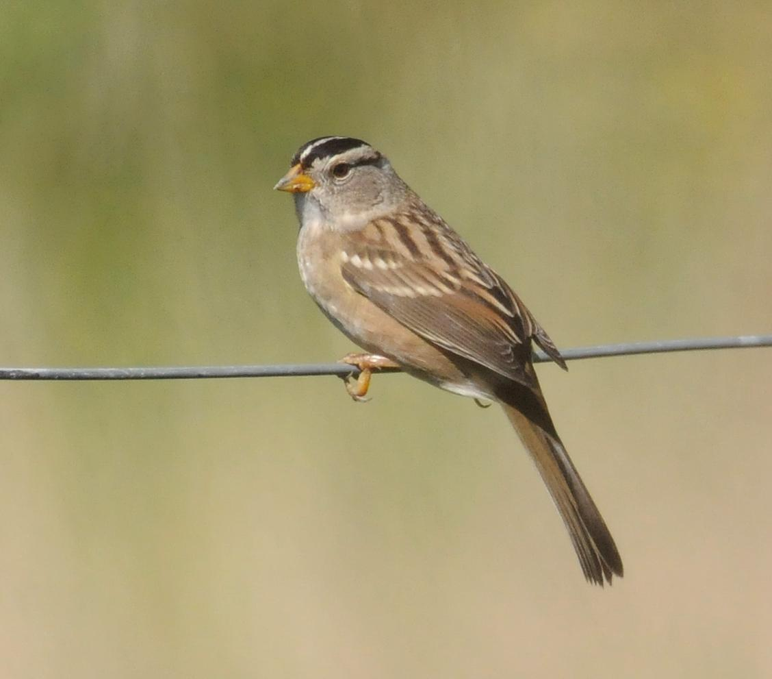 White-crowned Sparrow (Yellow-billed) Photo by Steven Mlodinow