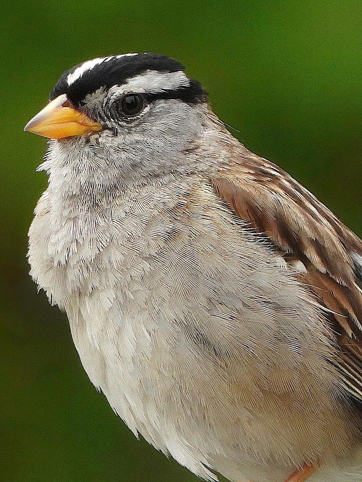 White-crowned Sparrow (pugetensis) Photo by Dan Tallman