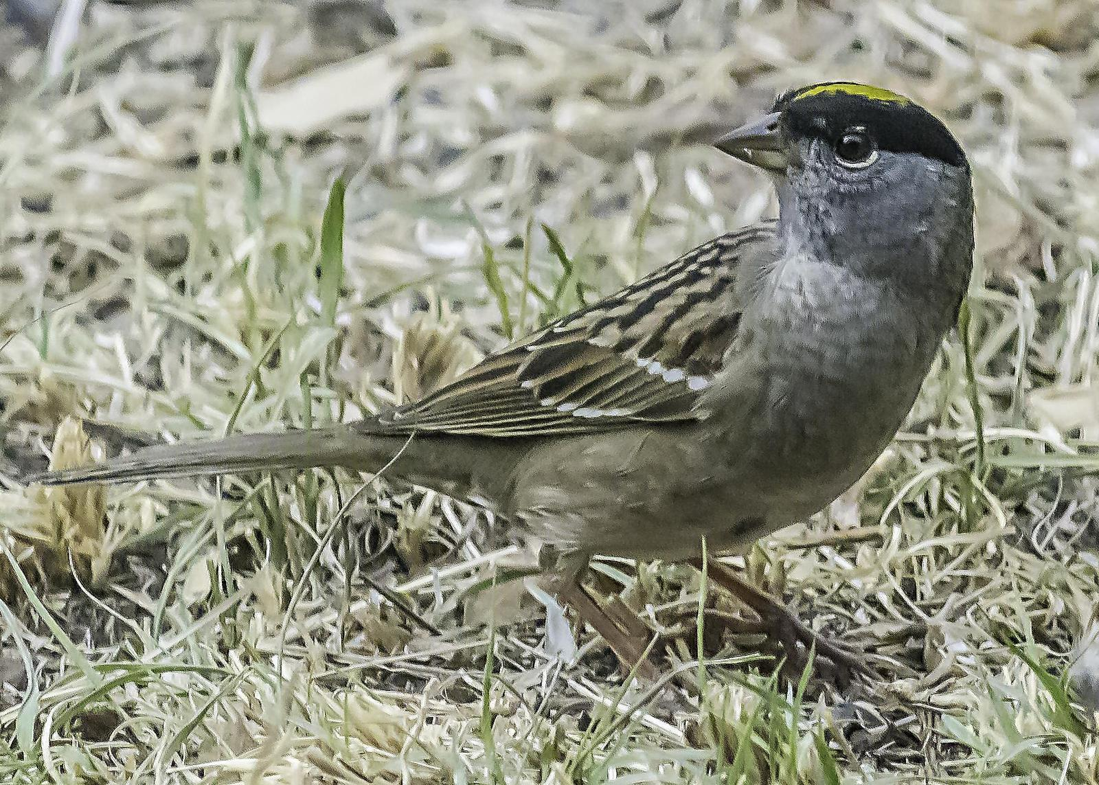 Golden-crowned Sparrow Photo by Mason Rose